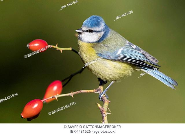 Eurasian Blue Tit (Cyanistes caeruleus), adult perched on a Dog Rose, Campania, Italy