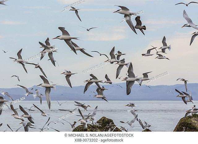 Elegant terns, Thalasseus elegans, in flight at breeding colony on Isla Rasa, Baja California, Mexico