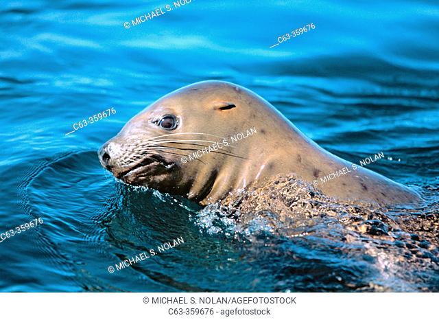 Subadult Steller sea lion (Eumetopias jubatus). Brothers islands. Southeast Alaska. USA