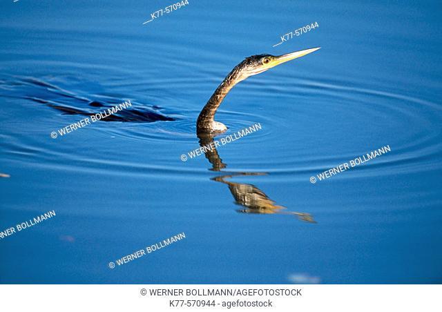American darter, fishing (Anhinga anhinga). Sanibel Island, Florida, USA