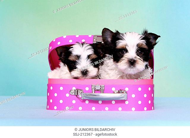 Biewer Terrier. Two puppies (7 weeks old) in a toy suitcase. Studio picture against a blue background. Germany