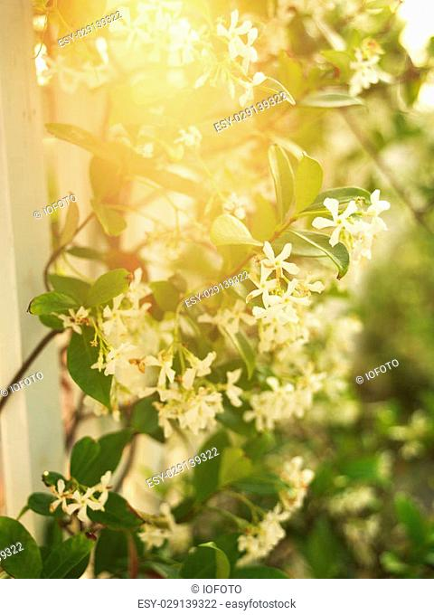 Sun flare through flowering vine and white picket fence