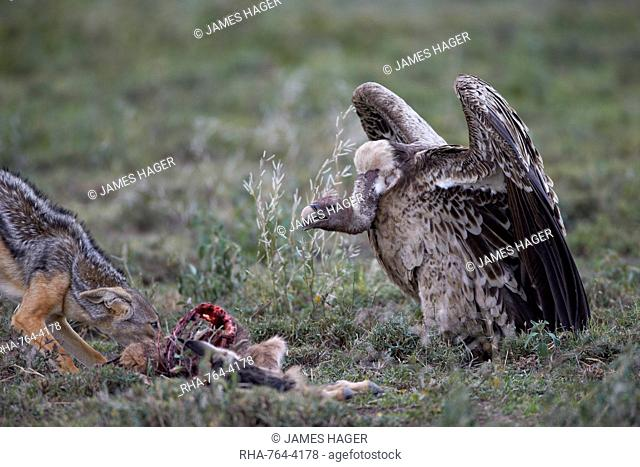 Ruppell's griffon vulture (Gyps rueppellii) approaches a black-backed jackal (silver-backed jackal) (Canis mesomelas) at a blue wildebeest calf kill