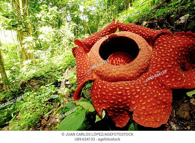 Sumatra and Borneo's raflessia is the world's biggest flower. It needs months to bloom and it lasts only a week. It has a strong smell of descomposition that...
