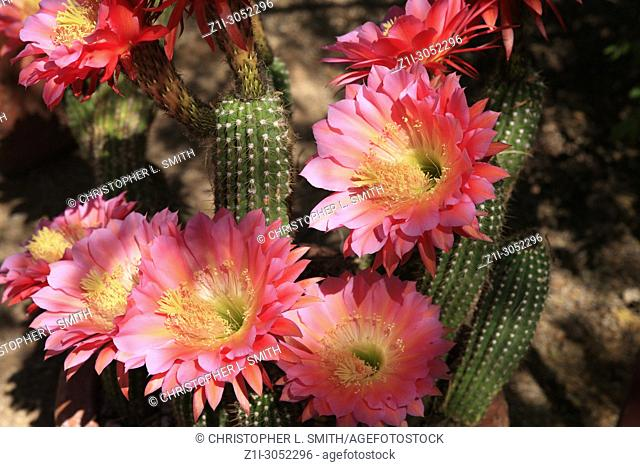 Organ pipe cactus giant pink blossoms in the Sonora desert in Arizona