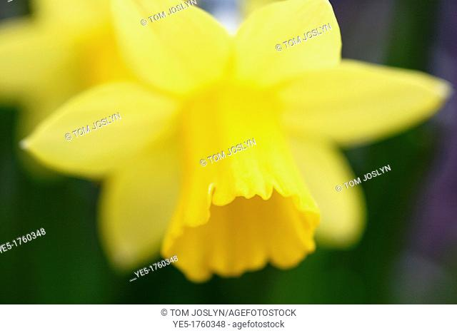 Daffodil flowers Narcissus pseudonarcissus 'Tete a tete', England, UK