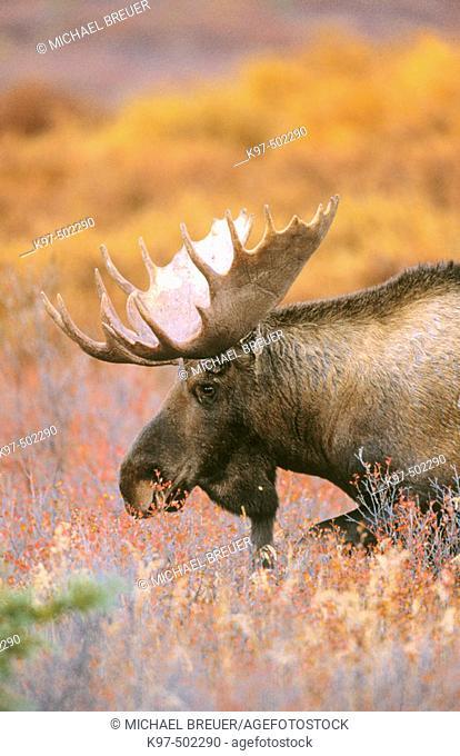 Moose (Alces alces). Denali National Park, Alaska, USA