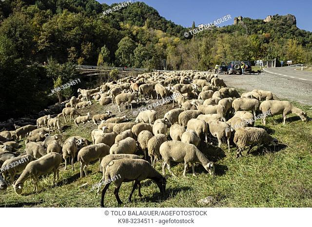 rebaño trashumante descansando junto al rio Valira de Castanesa, municipio de Montanuy, Ribagorza, provincia de Huesca, Aragón, cordillera de los Pirineos