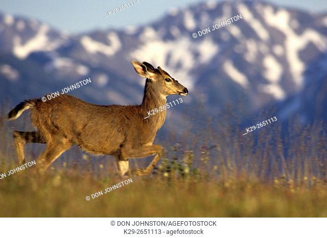 Blacktail Deer (Odocoileus hemionus columbianus), Olympic National Park WA, USA