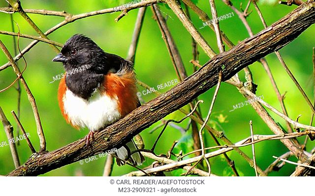 An eastern towhee, pipilo erythropthalmus, finds a comfortable perch from which to view the world on a spring morning, Pennsylvania, USA