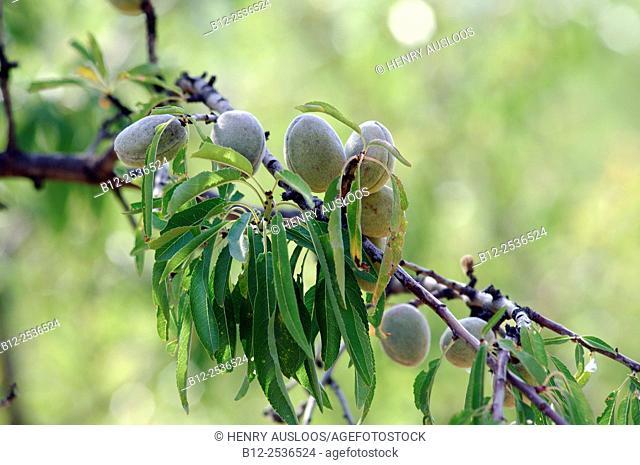 Sweet Almond, Prunus dulcis, Southern France
