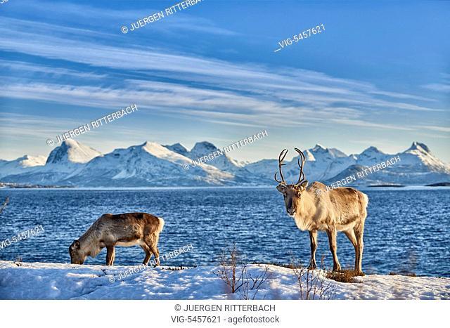 Reindeer, Rangifer tarandus, at sea on the island Senja, Troms, Norway, Europe - Troms, Norway, 22/02/2016
