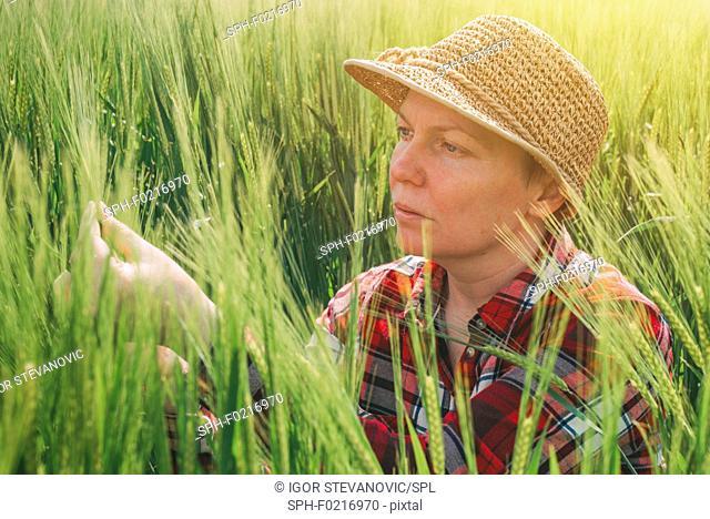 Farmer examining barley crop