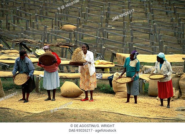Women sifting coffee from dried drupe fruit, Mogambo, near Meru, Kenya