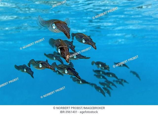 School of Bigfin Reef Squids or Oval Squids (Sepioteuthis lessoniana), Indian Ocean, Embudu, South Malé Atoll, Maldives