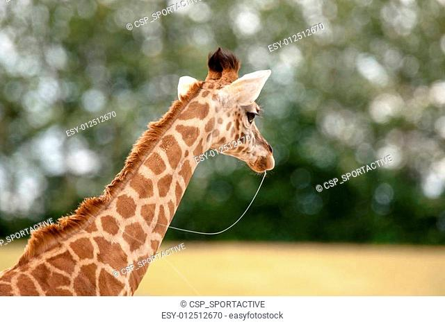Young giraffe with slime in the mouth
