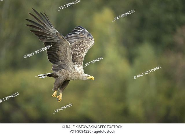 White-tailed Eagle / Sea Eagle ( Haliaeetus albicilla ) in powerful flight in front of the edge of a broadleaf forest, wildlife, Europe