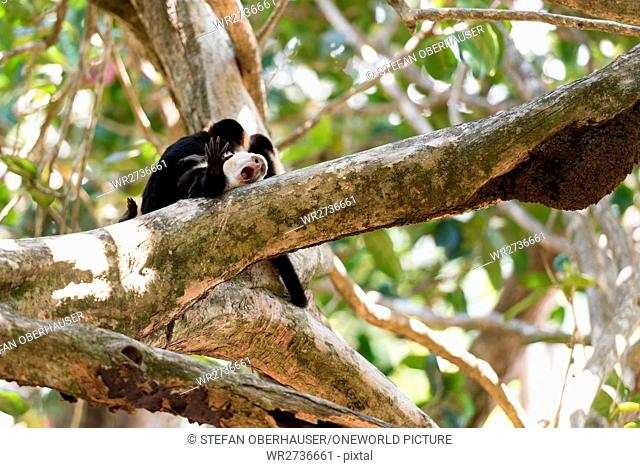 Costa Rica, Puntarenas, Quepos, Manuel Antonio National Park, Three White-faced Capuchin monkeys on a tree, White-faced Capuchin monkey - Cebus capucinus