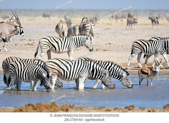 Burchell's zebras (Equus quagga burchellii) with a springbok (Antidorcas marsupialis), drinking in a waterhole, Etosha National Park, Namibia, Africa