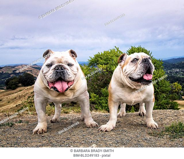 Portrait of dogs standing on hill