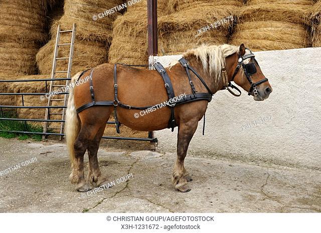 Comtois draft horse, Pre Fleuri Farm, Sermentizon, Livradois-Forez Regional Nature Park, Puy-de Dome department, Auvergne region, France, Europe
