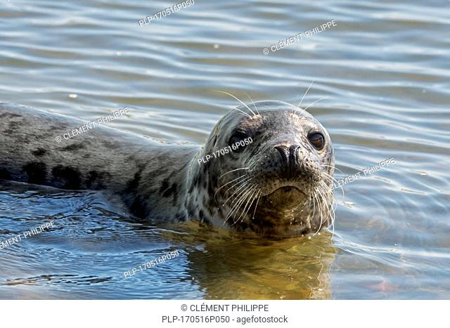 Close-up head of grey seal / gray seal (Halichoerus grypus) swimming in the Ythan Estuary, Sands of Forvie, Newburgh, Aberdeenshire, Scotland