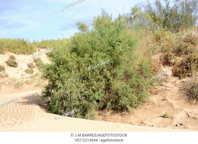 French tamarisk (Tamarix gallica) is a deciduous shrub or small tree native to western Asia and common in Mediterranean Basin coasts