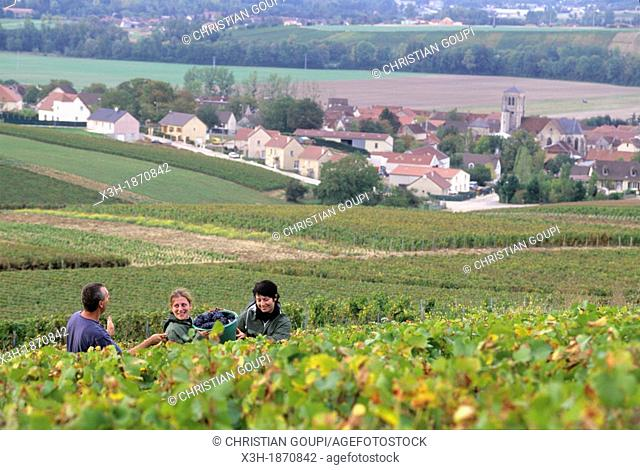 grape harvest in Cote des Bars vineyard around Celles-sur-Ource, , Aube department, Champagne-Ardenne region, France, Europe