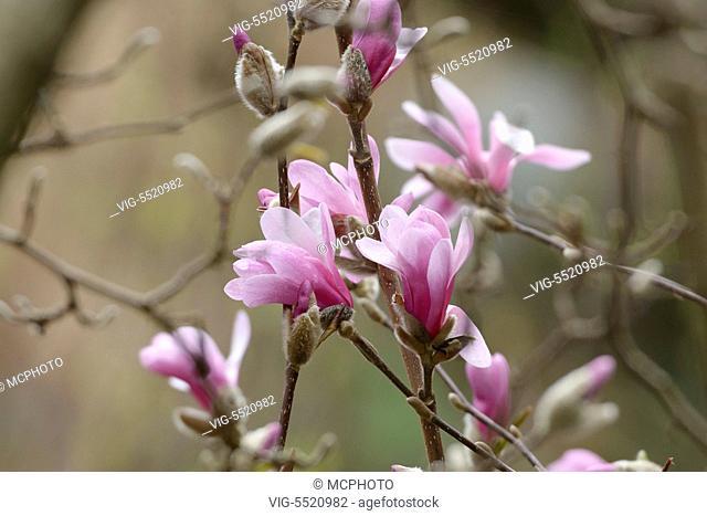 SCHWEIZ, SAN NAZARRO, 27.03.2014, Loebner's Magnolie (Magnolia Ã¿ loebneri 'Leonard Messel') - 27/03/2014