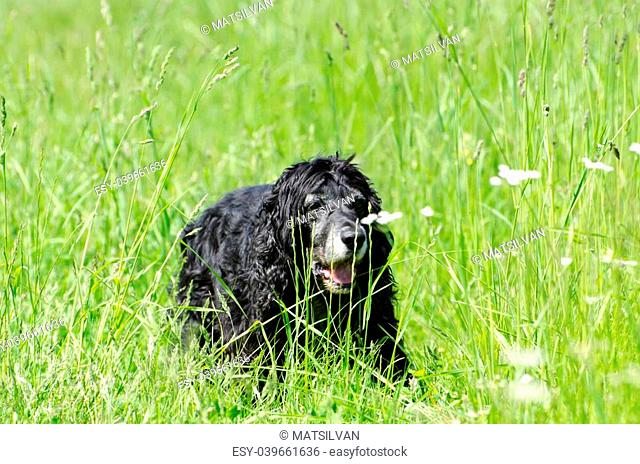 Cocker spaniel dog lying down on the green grass