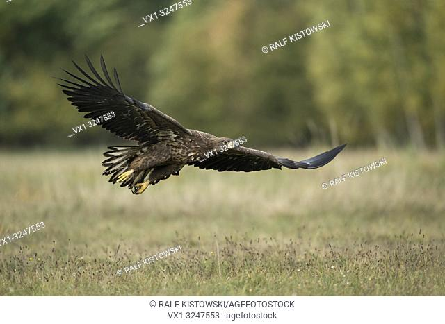 White tailed Eagle / Sea Eagle / Seeadler ( Haliaeetus albicilla ), young, in gliding flight, flying close over a meadow, stretched wings