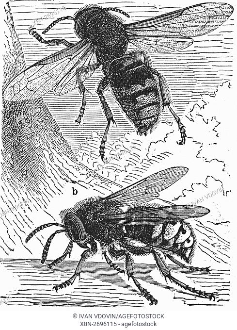 European hornet, Vespa crabro, illustration from book dated 1904