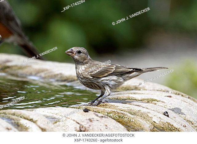 A female House Finch, Carpodacus mexicanus, standing at a birdbath  Richard DeKorte Park, Lyndhurst, New Jersey, USA