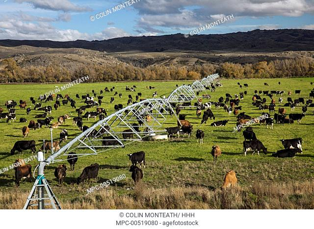 Domestic Cattle (Bos taurus) dairy cows grazing under irrigation system near Lauder, Central Otago, New Zealand