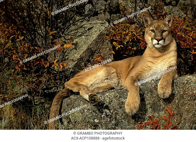 Cougar, Puma concolor, rests on rocks among autumn foliage, Montana, USA