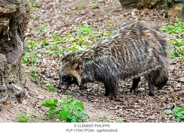 Raccoon dog (Nyctereutes procyonoides) foraging in forest and showing camouflage colours