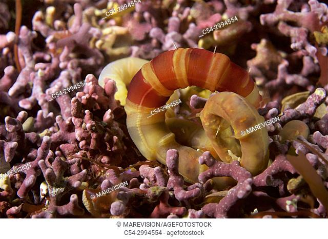 Annelida. Bristle worm. Polychaeta (Euclymene lumbricoides). Eastern Atlantic. Galicia. Spain. Europe