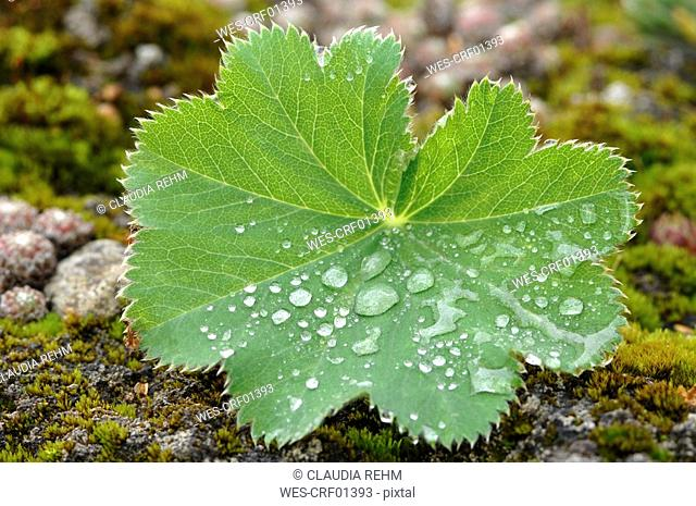 Water droplets on leaf of lady's mantle Alchemilla vulgaris, close-up