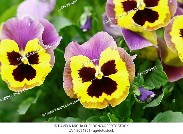 Blossoms from a pansy (Viola wittrockiana) in a garden, Germany
