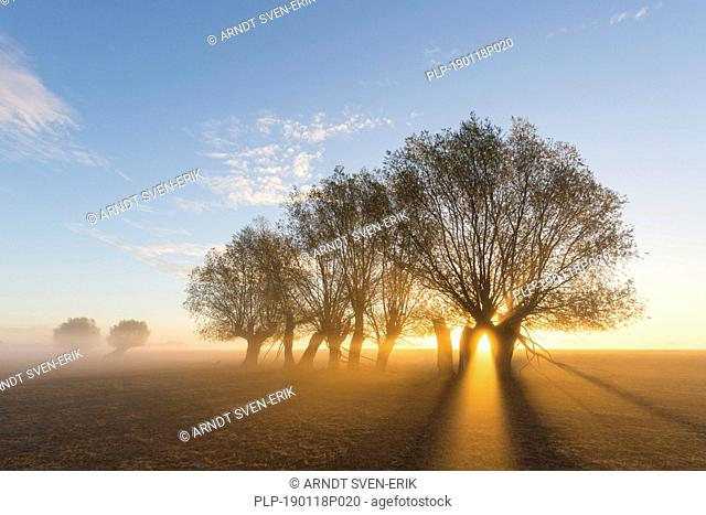 Sun shining through branches of pollard willows/ pollarded white willows (Salix alba) in early morning mist at sunrise in autumn