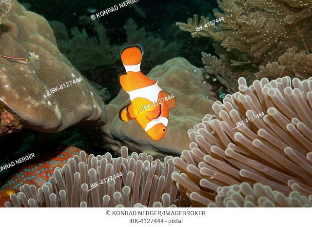 Ocellaris clownfish (Amphiprion ocellaris) in Sea Anemone (Heteractis spec.), Bali, Indonesia