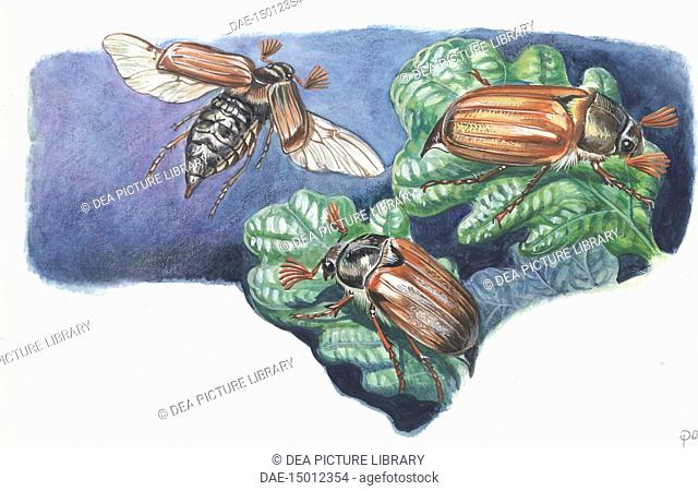 Cockchafers (Melolontha melolontha), illustration