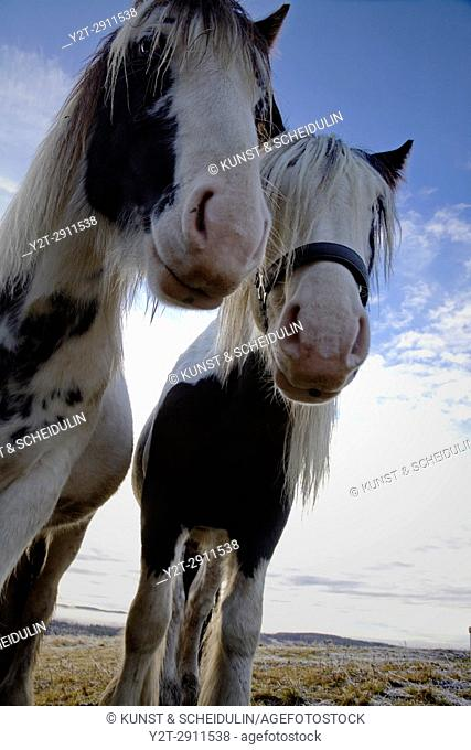 Wide angle close up photograph of two Tinker horses on a frosty pasture under a cloudy sky in Anundsjoe, Sweden