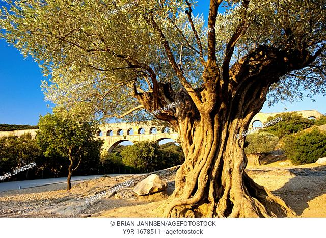 Ancient olive tree with Roman Aqueduct 'Pont du Gard' beyond near Nimes, Languedoc France
