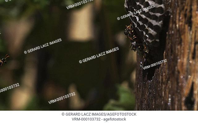 Common Wasp vespula vulgaris Flying to Nest, slow motion