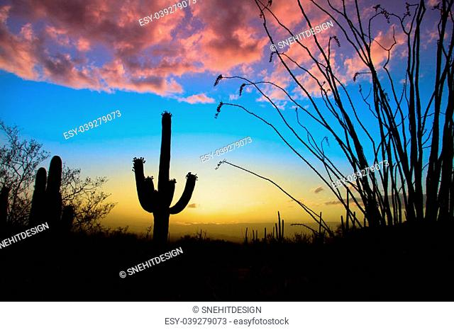 Saguaro national park in evening sun light