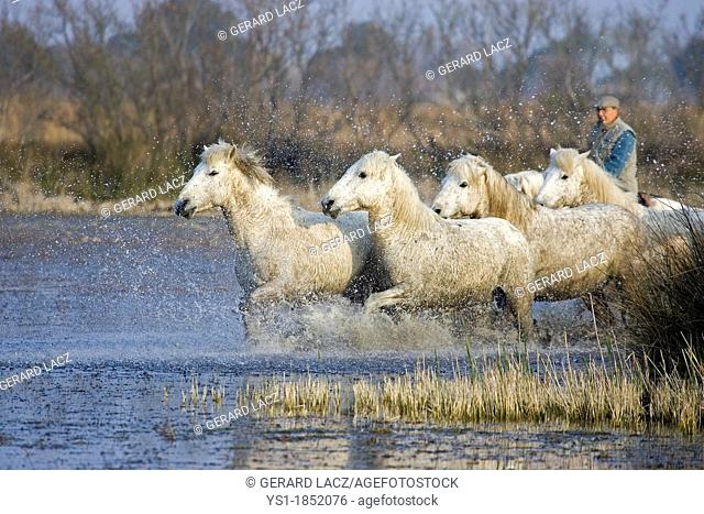 Camargue Horse, Herd Trotting in Swamp, Saintes Marie de la Mer in Camargue, in the South of France