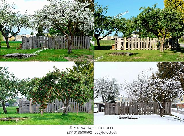 old apple tree in all four seasons