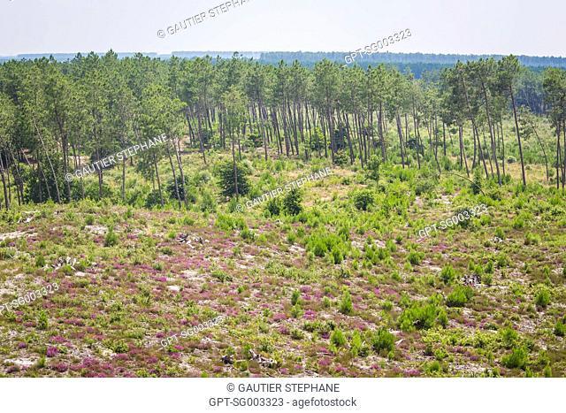 ILLUSTRATION OF THE FOREST OF LES LANDES, SYLVICULTURE, LANDES (40)