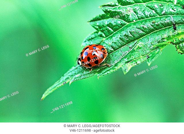 Halequin Ladybrd beetle, Harmonia axyridis var  succinea  Red ladybird beetle with fourteen spots and distince white cheek patches on cement wall  On nettle...
